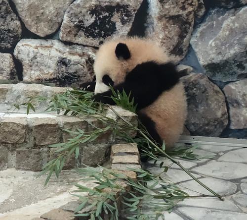 20130104_panda1
