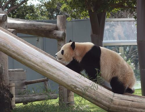 20130104_panda2